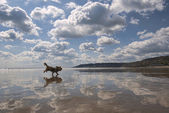 Beach Reflections with Dog. — Stock Photo