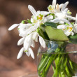 Bouquet of snowdrop flowers - Stock Photo