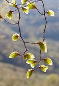 Folhas frescas de verdes novas — Foto Stock