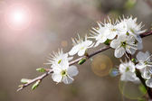Prunus — Stock Photo