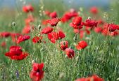 Poppy field — Stock Photo