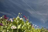 Poppyes — Stock Photo