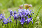 Iris — Stock Photo