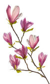 Flowering branch of magnolia — Stock Photo
