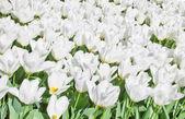 Spring flowers — Fotografia Stock