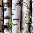 Reserves of birch logs — Stock Photo