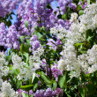Lilac bushes — Stock Photo
