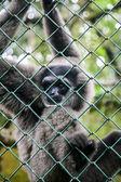 Retrato de gibão de macaco — Fotografia Stock