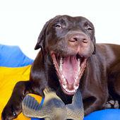 Cão retriever de labrador chocolate — Fotografia Stock