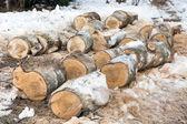 Sawn trunks of birch — Stock Photo