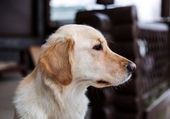 Portrait of dog Golden Retriever — Stock Photo