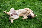 Hunden vilar på gräs — Stockfoto