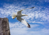 Seagull takes off with wooden pillar — Stock Photo
