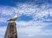 Seagull on the wooden pillar — Foto de Stock