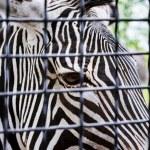 Grevy's zebra desert behind a grid — Stock Photo #50974751