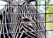 Grevy's zebra desert behind a grid — Stock Photo