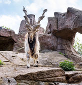 Markhor en zoo de moscú — Foto de Stock