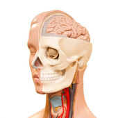 Human head anatomy — Stock Photo