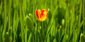 Single tulip — Stock Photo