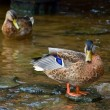 Duck on stone — Stockfoto #15725699