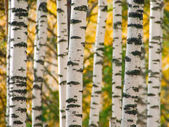 Trunks of birchwood — Stock Photo