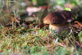 Big and healthy brown mushroom — Stock Photo