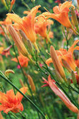Beautiful orange lily flowers — Stock Photo