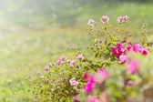 Růžové květy v zahradě — Stock fotografie