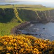 Irish coast and yellow flowered cliffs — Stock Photo