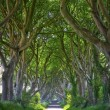 Magical forest of Dark Hedges — Stock Photo #26809403