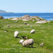 Ring of Kerry sheeps — Stock Photo