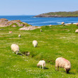 Sheeps  on Ring of Kerry grass fields — Stock Photo