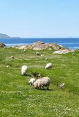 Pierścień kerry owce — Zdjęcie stockowe