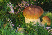 Beautiful and healthy boletus — Stock Photo