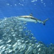Blacktip Reef Shark with Fish - Stock Photo