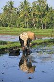 Plantera ris — Stockfoto