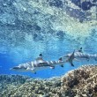 Stock Photo: Blacktip Reef Sharks