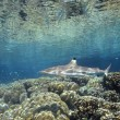 Blacktip Reef Shark — Stock Photo
