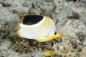 Saddled Butterflyfish — Stock Photo