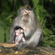 Long Tailed Macaque and Baby — Stock Photo
