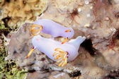交配 hypselodoris bullocki 蝓 — 图库照片