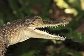 Saltwater Crocodile — Stock Photo