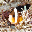 Stock Photo: Clark's Anemonefish