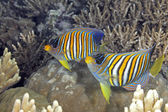 Two Regal Angelfish — Stock Photo