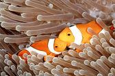 Two Clown Anemonefish — Stock Photo