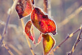 Red leaf with ice crystals — Stock Photo
