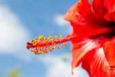 Stamens and pistil of a hibiscus — Stock Photo