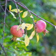 Two ripe pomegranates on a branch — Stockfoto