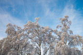 Beautiful hanging birch trees against a blue sky on a winter day — Stock Photo