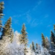 图库照片: Snow-covered pines and birches with blue sky in background